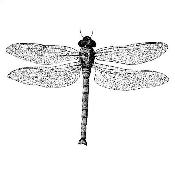 570pxdragonfly