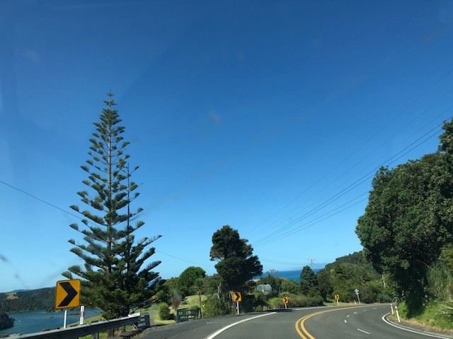 Driving to Auckland, my favorite New Zealand tree: Araucaria heterophylla